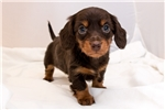 Picture of Laney - Chocolate/tan female LONGHAIR