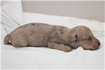 Picture of Yvonne - Cream dapple female SILKY WIREHAIR