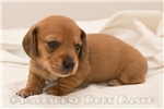 Picture of Bacon - Red male SHORTHAIR