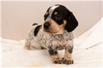 Picture of Greg - Black/tan piebald male SHORTHAIR