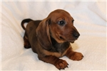 Picture of Moe - Red male SHORTHAIR