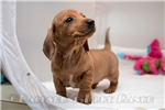 Picture of Haley - Red dapple female SHORTHAIR