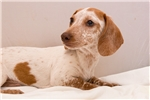 Picture of Kevin - Red dappled piebald male SHORTHAIR