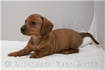 Picture of Hope - Red dapple female SHORTHAIR
