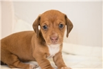 Picture of Jimmy - Red male SHORTHAIR