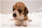 Picture of Cora - Red piebald female SHORTHAIR