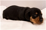 Picture of Baker - Black/tan male SHORTHAIR