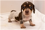 Picture of Grant - Chocolate/tan piebald male SHORTHAIR
