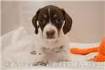 Picture of Betty - Chocolate/tan piebald female SHORTHAIR