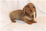 Picture of Larry - Red male SHORTHAIR