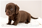 Picture of Brent - Solid chocolate male SHORTHAIR