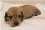 Picture of Boyd - Cream male SHORTHAIR