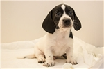 Picture of Mason - Solid black piebald male SHORTHAIR