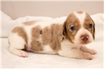 Picture of Monroe - Chocolate/tan dappled piebald SHORTHAIR