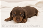 Picture of George - Chocolate/tan male SHORTHAIR