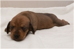 Picture of Penny - Red female SHORTHAIR