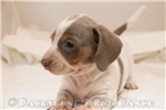 Picture of Sergeant - Isabella/tan piebald male SHORTHAIR