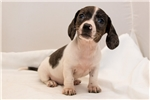 Picture of Dixie - Solid black dappled pie female SHORTHAIR