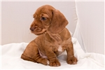 Picture of Spence - Red brindle male WIREHAIR