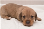 Picture of Henry - Red dapple male WIREHAIR