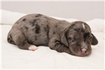 Picture of Brady - Solid black dapple male WIREHAIR
