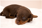Picture of Martin - Chocolate/tan male WIREHAIR