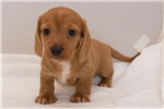 Picture of Simon - Red male WIREHAIR