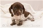 Picture of Simon - Solid chocolate piebald male WIREHAIR