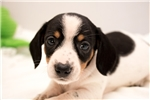 Picture of Donnie - Black/tan piebald male WIREHAIR