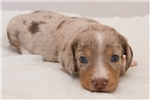 Picture of Beaver - Chocolate/tan dapple male WIREHAIR