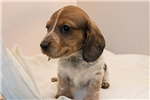 Picture of Cody - Red piebald male WIREHAIR