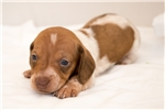 Picture of Dillon - Red piebald male SHORTHAIR