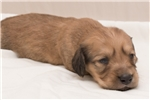 Picture of Henderson - Cream male WIREHAIR