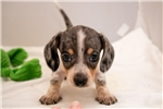 Picture of Deuce - Black/tan dappled piebald male WIREHAIR