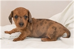 Picture of Yaris - Red dapple male WIREHAIR