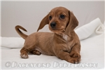 Picture of Hazel - Red dapple female WIREHAIR