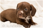 Picture of Sammy - Solid chocolate male WIREHAIR