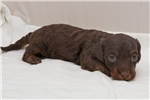 Picture of Milton - Chocolate/tan male SILKY WIREHAIR