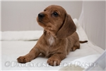 Dachshund, Wire for sale