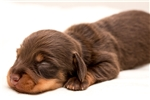 Picture of Jake - Chocolate/tan male SILKY WIREHAIR