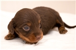 Picture of Merv - Chocolate/tan male SILKY WIREHAIR