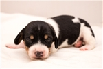 Picture of Davey - Black/tan piebald male WIREHAIR