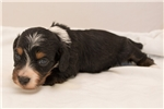 Picture of Black/tan piebald male SILKY WIREHAIR