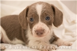 Picture of Slinky - Solid isabella piebald male WIREHAIR