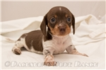 Picture of Max - Chocolate/tan piebald male WIREHAIR