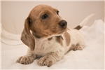 Picture of Hank - Red dappled piebald male WIREHAIR