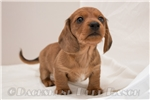 Picture of Hunter - Red dapple male WIREHAIR