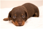 Picture of Marcus - Chocolate/tan male WIREHAIR