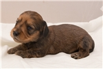 Picture of Howell - Red male SILKY WIREHAIR