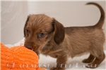 Picture of Harper - Chocolate based red female WIREHAIR